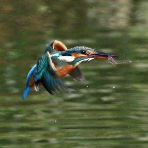 水位が高いままなのでダイブはかなり少ない状態がなお続くも カワセミ2羽は頻繁に来ています 水元公園かわせみの里