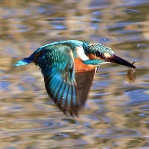 2羽でけっこう来てるんですけどねぇ、餌獲りダイブは正直少ない 水元公園かわせみの里 の巻