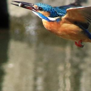 ≪ 給餌 巣穴掘り 〇〇 つがい活動本格化 ≫ 水元公園かわせみの里 の巻