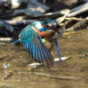 つがい2羽は巣穴掘り中 黄連雀(キレンジャク)が遊びに来てくれた 水元公園かわせみの里 の巻