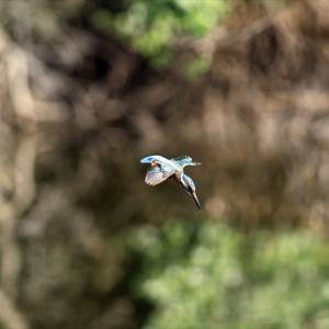 外出自粛で「カワセミ撮影自粛中」につきちょっとしかカワセミが出てこないんですが、「かわせみの里」も「不動池」もたぶん元気で営巣中だと思います の巻