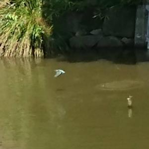 子供が3羽戻ってきました 水元公園かわせみの里 の巻