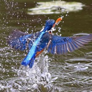 お魚獲りダイブはあんまし撮れなかったのですけれど、給餌4回、交尾1回が見れました、巣ごもり寸前 水元公園不動池 の巻