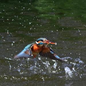 かわせみの里で1番子ヒナが誕生、里の池への巣立ちは5月5日~8日のいずれか、 不動池つがいは交代での巣ごもり・抱卵中 の巻