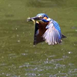 令和元年に向けて、平成31年4月28日1日だけボーとカワセミを撮った水元公園不動池 の巻