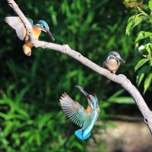 水元公園「かわせみの里」1番子ヒナ 5羽巣立ち の巻