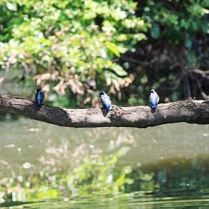 ヒナ5羽が巣立って池に来ました 水元公園「不動池」 の巻