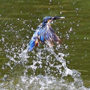巣穴への出入りでオスの羽がボロボロに。。。ってことは、若メスが卵を産んだのか? 夏のミステリーは続く水元公園かわせみの里 の巻