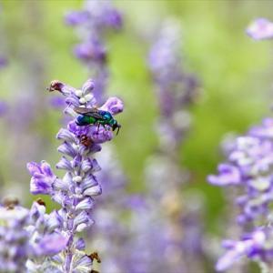 ラベンダーに大青蜂(オオセイボウ)、いまさら気付いた「玉虫」の真実、そして「かわせみの里」ではダイブ数が半減して1日10ダイブ以下に、で? の巻