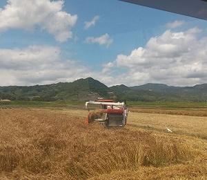 麦刈り終わった。