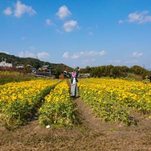ひまわり畑とコスモス畑