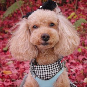 愛犬とのおでかけ2019年お誕生日祝い旅行1-真っ赤っかで綺麗~♪-