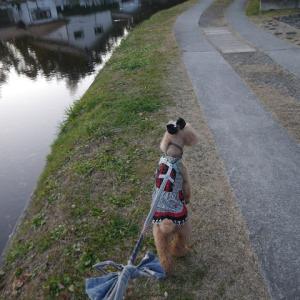 愛犬とのおでかけ2019年お誕生日旅行8-御影用水沿いをお散歩♪-
