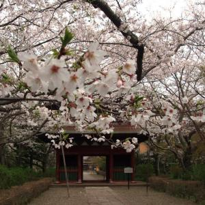 今年も長勝寺(潮来)の桜は咲いていました。