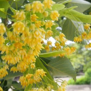 菩提樹の花も静かに咲いて風にゆれ