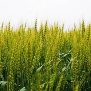 麦の穂は勢いよく天を目指す