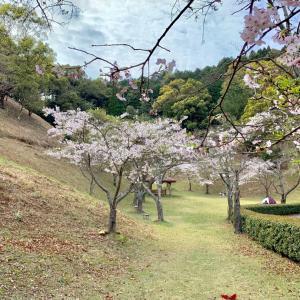 お花見散歩とコロナ探知犬 (乂・ェ・´)NO