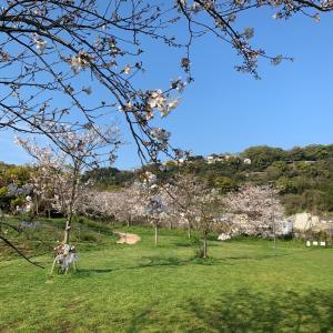 桜狩り~出雲近隣公園~ (´∪`*)