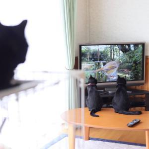 テレビに夢中の黒猫団