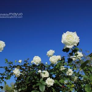 青空と白薔薇。