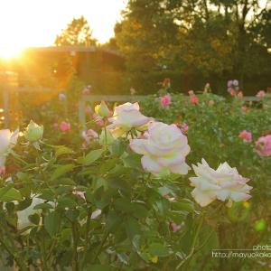 夕暮れの薔薇。