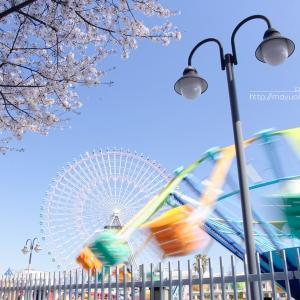横浜の桜。