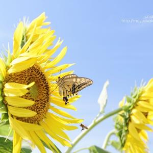 蝶と ひまわりと。