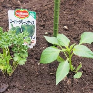 ★家庭菜園:ピーマン&ミニトマト