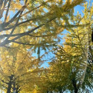 黄金色の銀杏