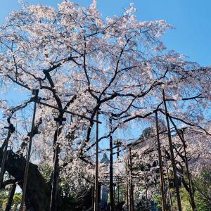 宇都宮桜めぐり