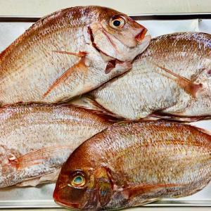 春を告げる魚「春子鯛 (かすごだい)」