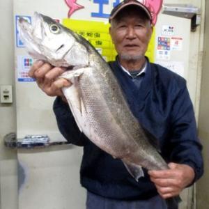 浜名湖 シーバス 76.5センチ