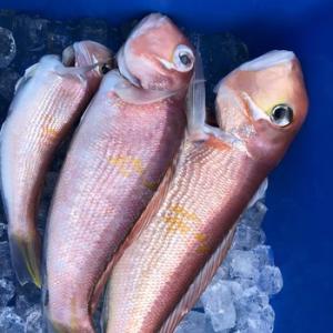 甘鯛の釣果