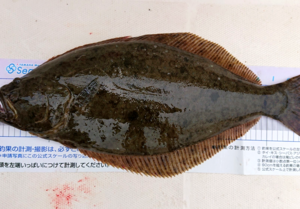 ナイスサイズのヒラメの釣果投稿いただきました