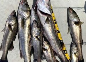 浜名湖シーバス釣れました♪