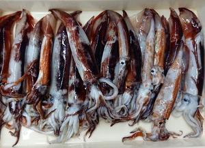 スルメイカの釣果