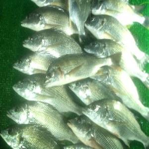キビレ20匹大漁です
