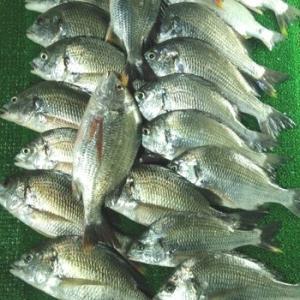 浜名湖 25匹 キビレ 爆釣です