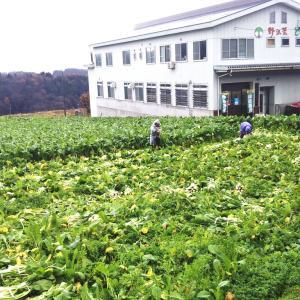 とみき漬物工場横の野沢菜畑