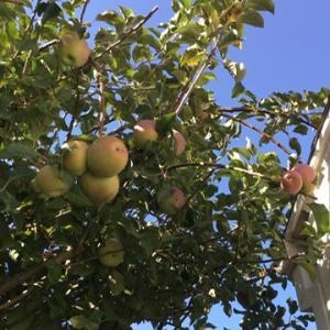 リンゴ収穫月