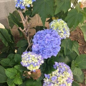 一斉ヒーリング金運エネルギーの感想&アジサイの花