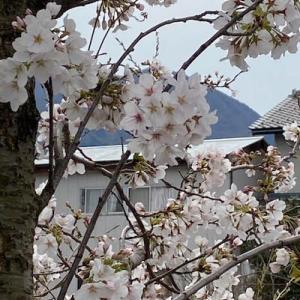 さくら 桜・・・