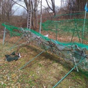 山ぶどう園報告:先般の湿った雪(15cm以上)で垣根倒壊です。