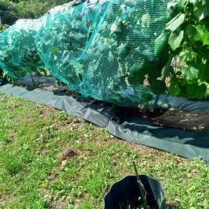 山ぶどう園報告:垣根下の草刈りを効率良くする為に色々研究中です。