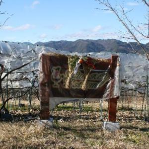 山ぶどう園報告:今年は配慮不足で受粉率下げて収穫量低下を招いたので