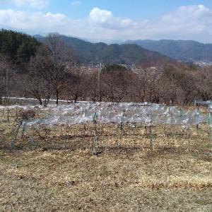 山ぶどう園報告:剪定も終わり、枝の回収、皮剥ぎを暖かい日は行ってます。