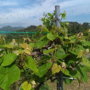 山ぶどう園報告:順調に成長しているかも、虫が散見されるので最初の防除