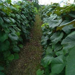 山ぶどう園報告:低い房を揚げる作業もほぼ終了。収穫前はネット張りか。