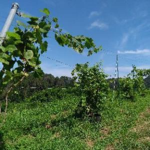 山ぶどう園報告: 色々な山ぶどうを試験栽培しています。