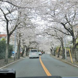 伊豆高原桜のトンネルドライブスルー花見